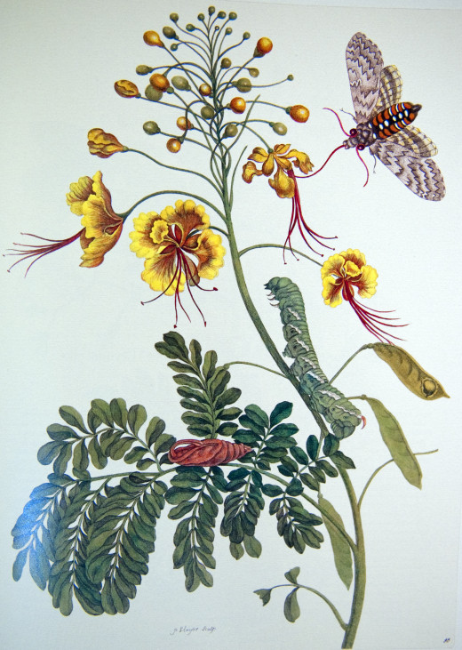 Illuminated copper engraving from Metamorphosis insectorum Surinamensium, Plate XLV. 1705 By Maria Sibylla Merian (1647-1717)