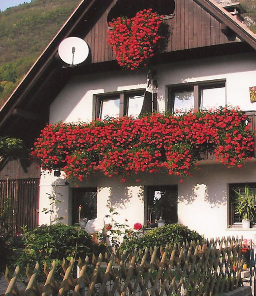 Europeans plant geraniums in their window boxes to repel houseflies--and it works!