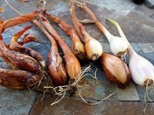 Buy organic shallots once in the fall. Dig up in the spring, use some, divide and replant some for fall harvest.