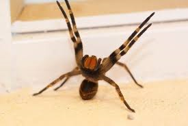the feared Brazilian Wandering Spider in attack mode