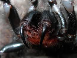 Showing the fearsome fangs of the Sydney Funnel Web spider