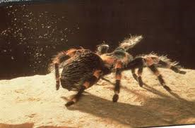 A tarantula throwing urticating hairs