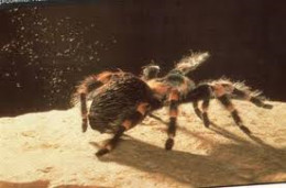 A tarantula throwing urticating hairs