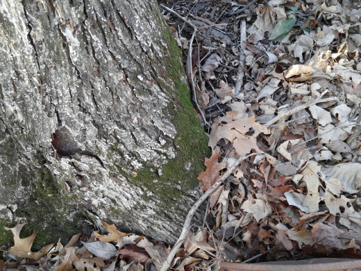 Moss growing at the base of a shag bark hickory.