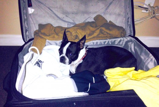 Luna, my boston terrier laying in a suitcase with clothes