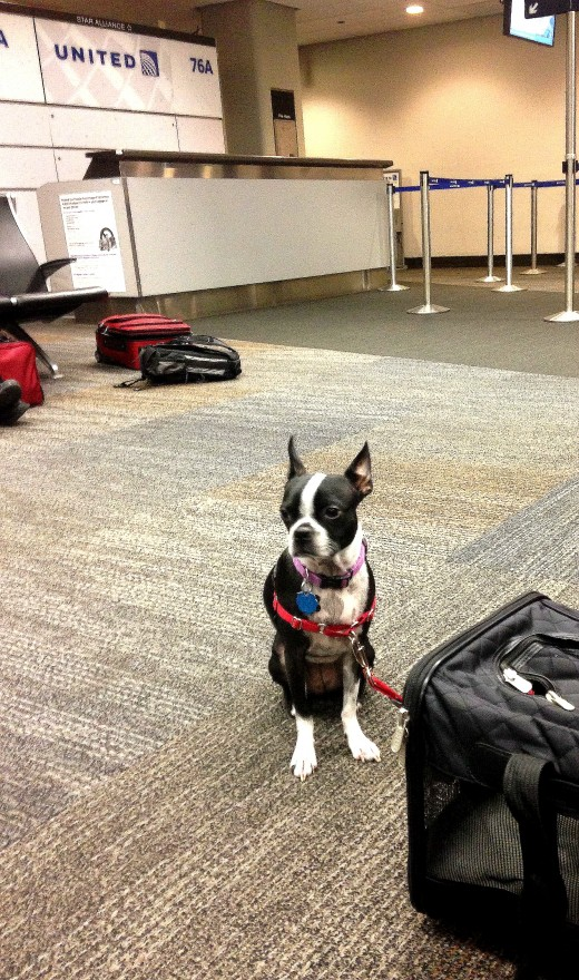 Luna my boston terrier  Waiting for a Flight in the Airport Terminal near the united ticket desk