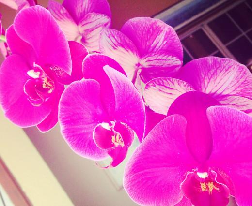vibrant fuchsia orchids