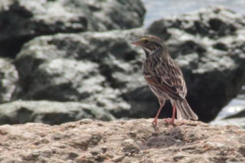 Seaside Sparrow at Anahuac NWR.