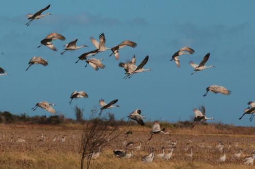 Sandhill Cranes at the entrance of Brazoria NWR