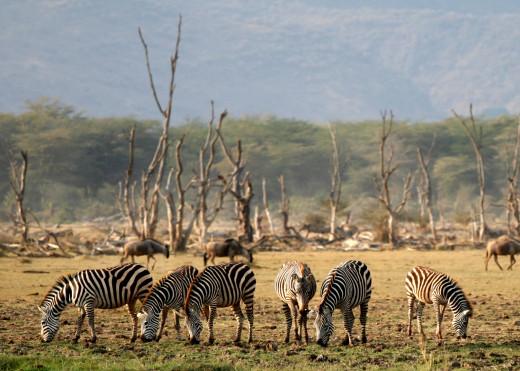 Wildlife at Lake Manyara National Park, Tanzania, Africa. Zebras and other species are in abundance at Lake Manyara.