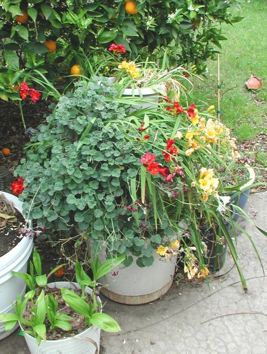 My Stack of Plastic Pots, growing so well, they are a bit hard to see.