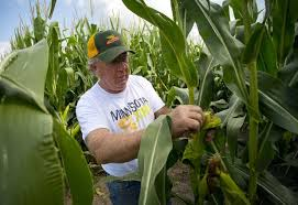 Farmer inspects his corn crop. You find men like this in small towns