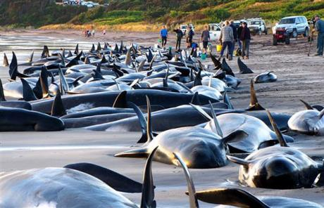 Some of the 200 pilot whales which beached themselves on an island near Australia's southern state