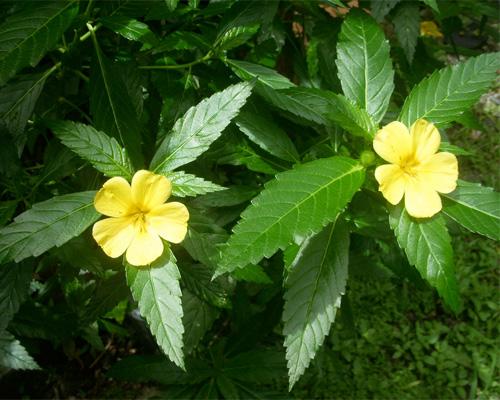 Flowering Damiana plant