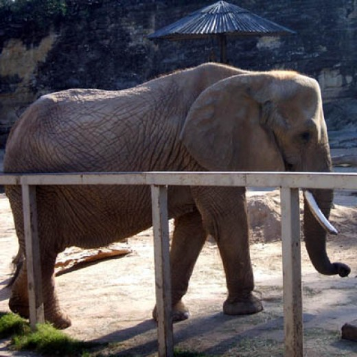Elephant in San Antonio Zoo