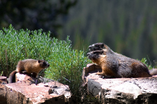 Want to see yellow-bellied marmots like this little family?  Head to the higher elevations of Yosemite National Park.  These social animals are related to squirrels.