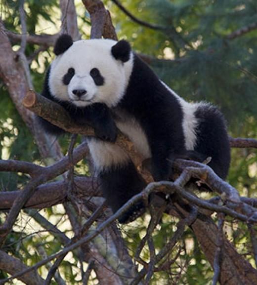 Giant Panda in San Diego Zoo