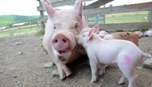 Hi, Ms Pig and little piglets