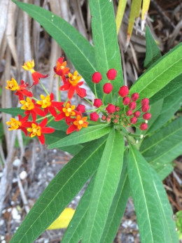The Butterfly Weed might be saying it is time for transformation...or to feed your transformation.