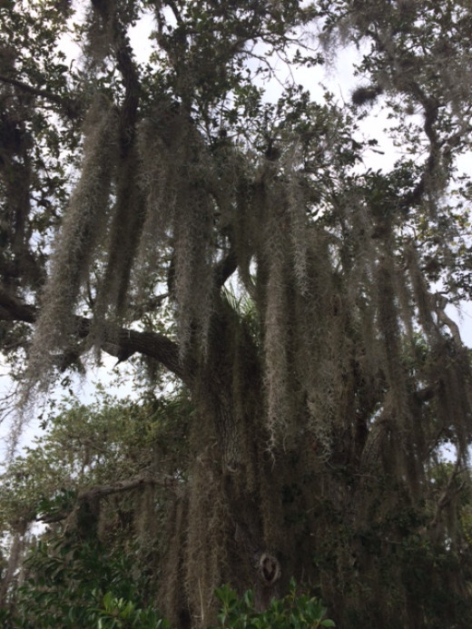 An Old Oak covered in Spanish Moss. You see this pairing often in the Southern U.S.