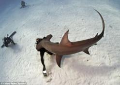 Large hammerhead investigates diver (not harmed)