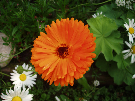 Calendula flower is also called pot marigold