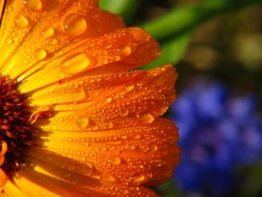 Calendula is a medicinal flower