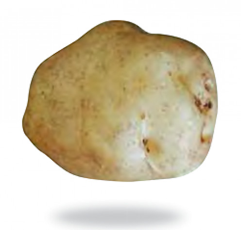 This potato variety is the Irish Lumper, to which the Great Irish Famine is commonly attributed.