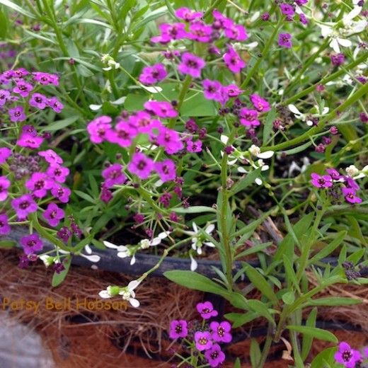 Dark Knight™ Sweet Alyssum Lobularia and Diamond Frost® Euphorbia blooming and beautiful in hot, humid August.