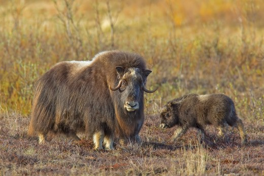Musk-ox mother and baby. Nome, Alaska.  Photo used with permission.