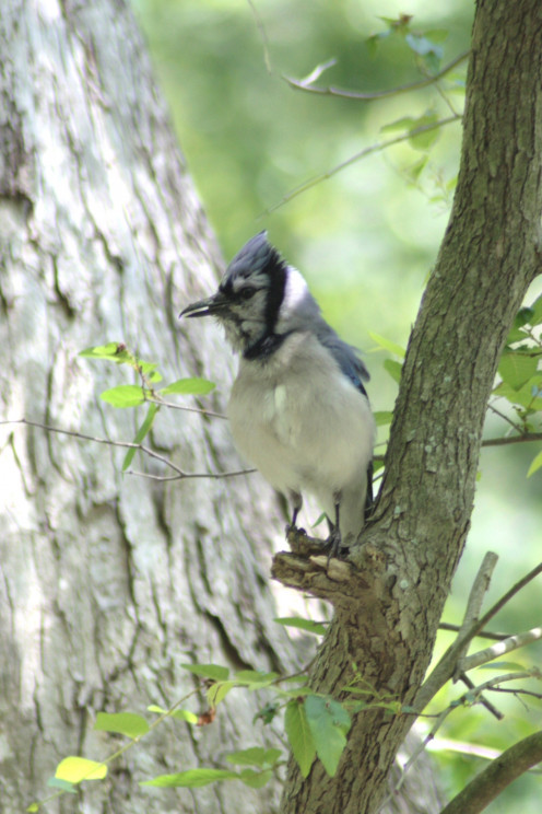 Blue Jay Pictures at Mercer Arboretum, Houston Texas