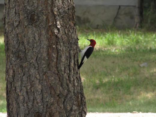 The USA have their Woodpeckers also.