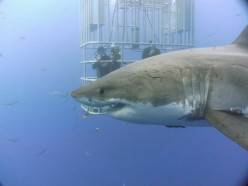 Cage Diving With White Sharks