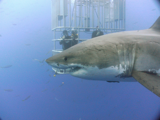 A Great White Shark passes by a cage on Guadelupe Island