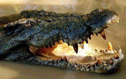 The Croc that caused the plane to crash