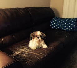 One Month living with a Shih Tzu