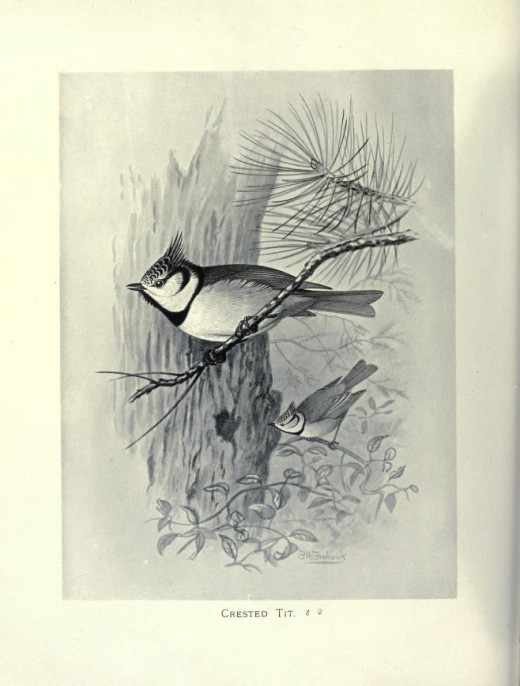 Butler. 'British Birds with their Nest and Eggs. Courtesy of the BHL