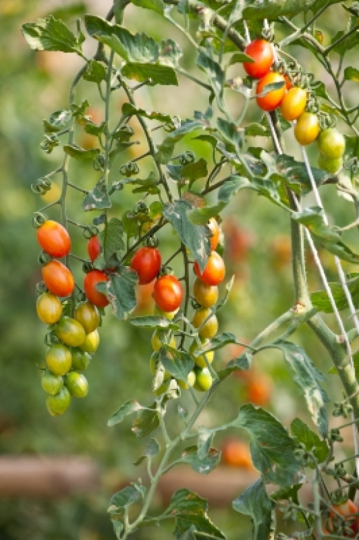 You see, Old Ma Cooper was tying in the tomato plants with the ball of string to the poles because they were laden with tomatoes!