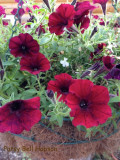 Look for this plant: Supertunia Black Cherry Petunia