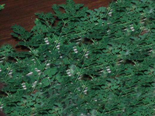 fresh malunggay leaves