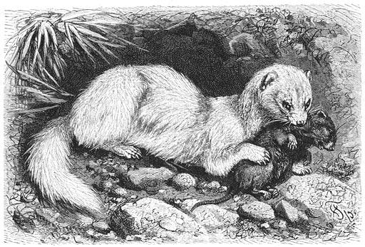 A ferret, 'Mustela putorius furo'.