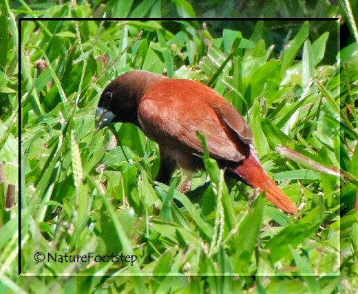 Chestnut Mannikin or Chestnut Munia. I've seen them by Salt Lake Library parking lot and by Bishop Museum so far.