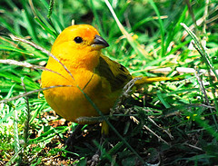 Saffron Finch couple that I saw on the Big Island is the same as this little bird in the picture taken in Kalihi.