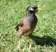 Mynah bird in Kapiolani Park.