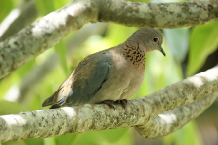 A Laughing Dove looks for food.