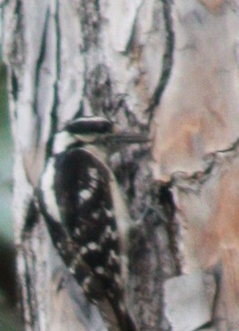Hairy Woodpecker checking crevices for insects