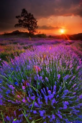 Lavender  by prozac1. ID # 100178958