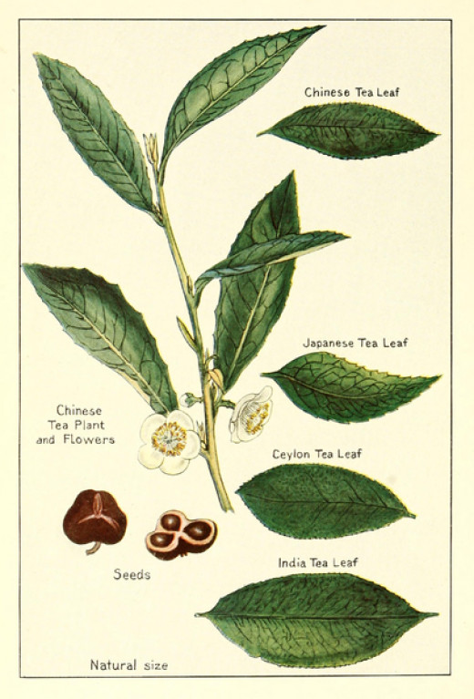 Various types of tea leaves Chinese, Japanese, Ceylon, Indian with seeds and flowers.