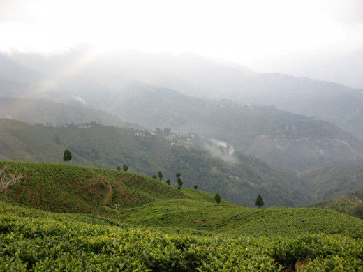 A tea plantation in Darjeeling.