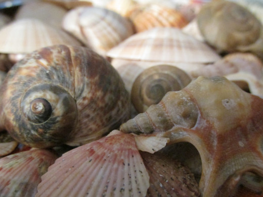 The spiral in nautilus sea shells is based on the Fibonacci sequence.